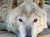 Full Moon Farm Wolfdog Sanctuary